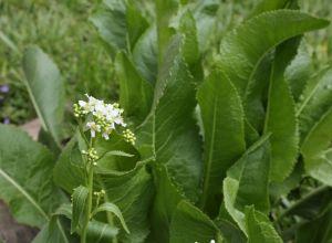 Хрен обыкновенный (Armoracid rusticana)