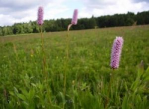 Травы, применяемые при поносах.