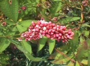 Горец почечуйный (почечуйная трава) (Polygonum persicaria), Горец птичий, или спорыш (Polygonum avictdare)
