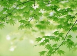 Клен (Acer), Коричное дерево (Cinnarnomum zeylarticum)
