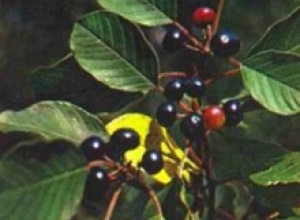Крушина ольховидная (Franguh. dimes), Лаванда настоящая, или лаванда узколистная (Lavandula officinalis), Лещина обыкновенная, или орешник, лесной орех (Corylus avellana)