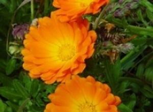 Календула лекарственная, или ноготки (Calendula officinalis)