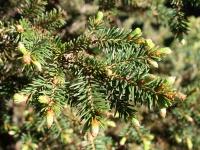 Ель обыкновенная (Picea abies), Ива белая, или верба