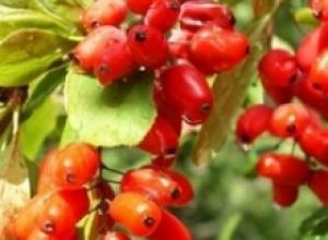 Барбарис и вишня обыкновенная