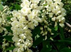 Акация белая (Acacia dealhata), Барвинок малый (Vincaminor), Вереск обыкновенный