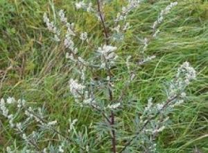 Полынь обыкновенная, или чернобыльник (Astermisia vulgaris)