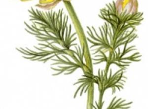 Адонис весенний,  горицвет, стародубка, черногорка