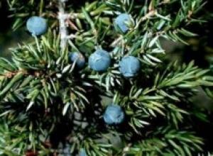Можжевельник обыкновенный (Jurdperus communis)