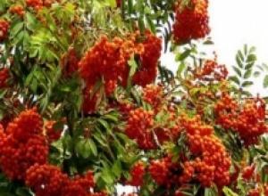 Рябина обыкновенная (Sorbus aucuparia), Рябина черноплодная, или арония (Aronia melanocarpa)