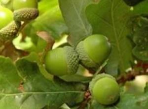 Дуб черешчатый (Quercusrobur), Кедровый стланик