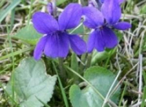 Фиалка душистая (Viola odorata), Фиалка трехцветная, или анютины глазки (Viola tricolor)