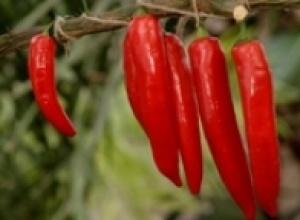 Перец стручковый красный (Capsicum sp.), Пижма обыкновенная (Tanacetum vulgare)