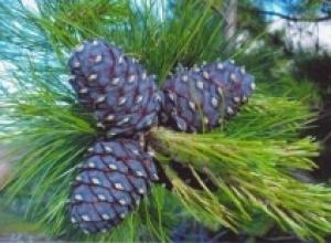 Кедр сибирский, или сосна сибирская (Virtus sibirica), Иссоп лекарственный (Hyssopus officinalis)