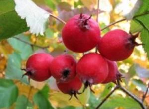 Боярышник кроваво-красный (Crataegus sanguinea), Вяз красный (Ulmus rubra)