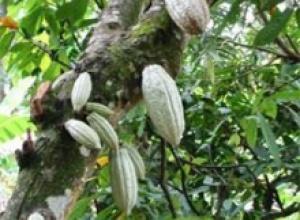 Какао (Theobroma cacao)