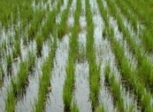 Рис, рожь и ячмень