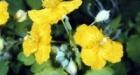 Чистотел большой (Chelidonium majus)