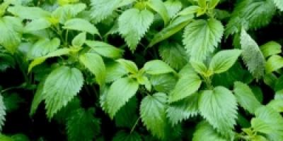 Травы, применяемые при болезнях почек и мочевого пузыря
