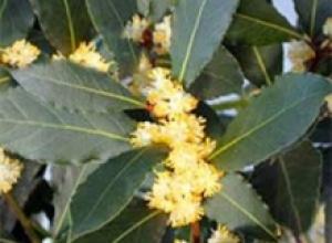 Лавр благородный (LaurasnoMis), Лимонник китайский (Scbizandra chinensis)