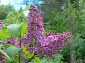 Сирень (Syringa vulgaris), Эвкалипт шариковый (Eucalyptus globolus)