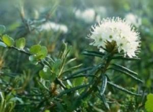 Багульник болотный (Ledumpalustere)